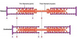 Muscle Contraction Diagram 300x153 Muscle Contraction Diagram